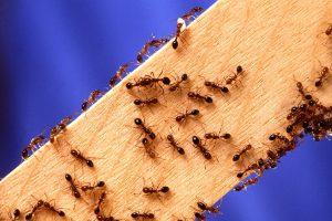 Une colonie de fourmis sur une planche de bois